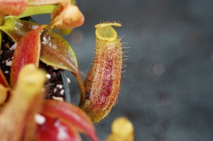 Nepenthes spectabilis x platychilla